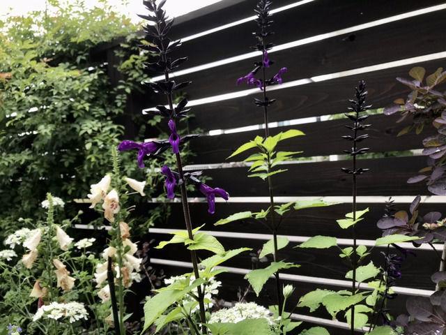 スーパーサルビア・ロックンロール'ディープパープル'の花