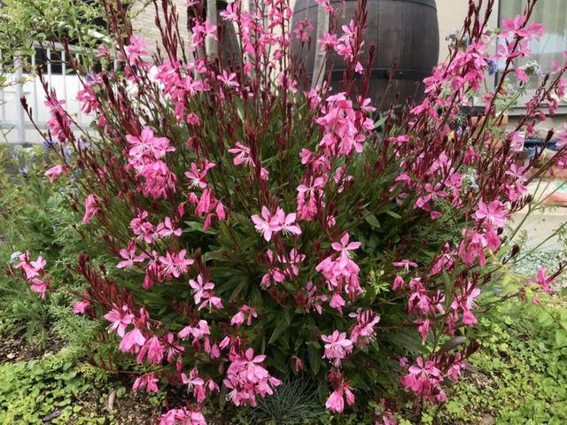 ピンクのガウラの花