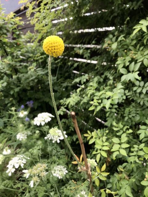 クラスペディア・グロボーサの花