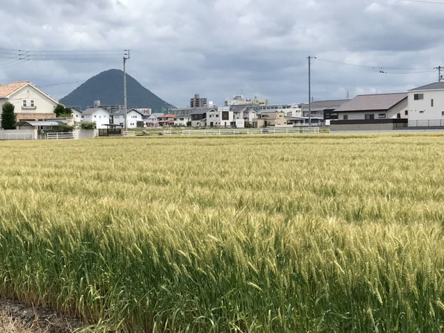麦畑の景色