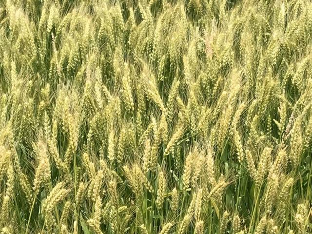 麦畑のアップ