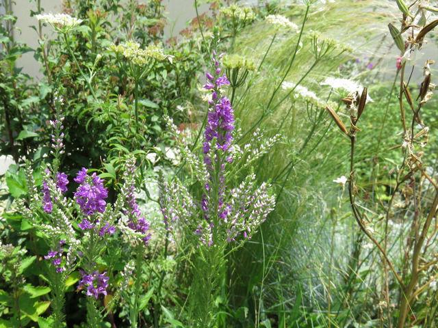 ベロニカ ムルチフローラ バイカラー エクスプローションの花