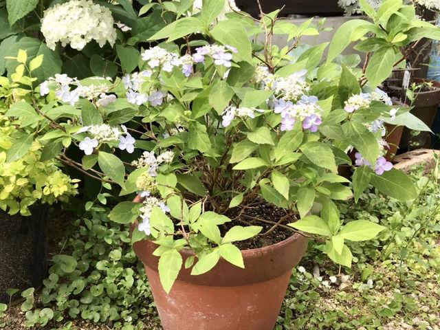 ヤマアジサイの鉢植え