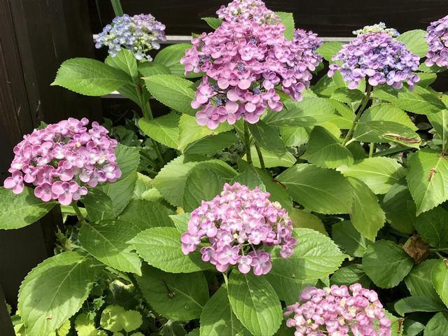 オタフクアジサイの花