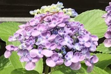 オタフクアジサイの花のアップ