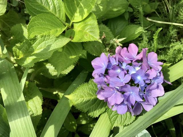 小さなアジサイの花