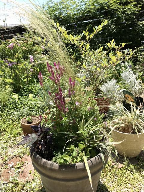 2021年初夏の寄せ植え スティパ、ケイトウ、イポメア、スーパーベナ