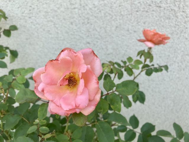 サンセットグロウの二番花