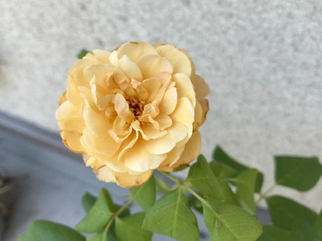 ロアルドダールの二番花