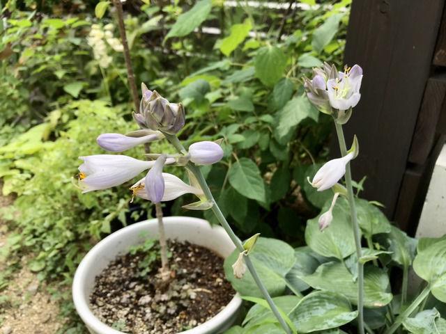 ホスタハルシオンの花