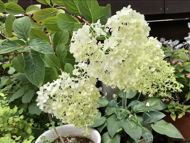 ノリウツギ・リトルライムの花