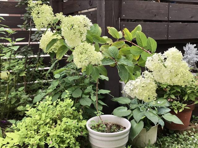 ノリウツギ・リトルライムの花全体