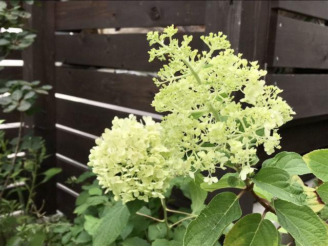 ノリウツギ・リトルライムとアナベルの花