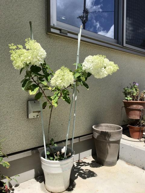 添え木をしたノリウツギ・リトルライムの花