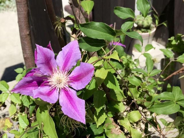 クレマチス H.Fヤングの花