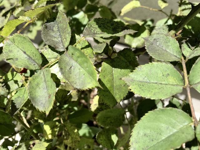 サンセットグロウの煤病の葉