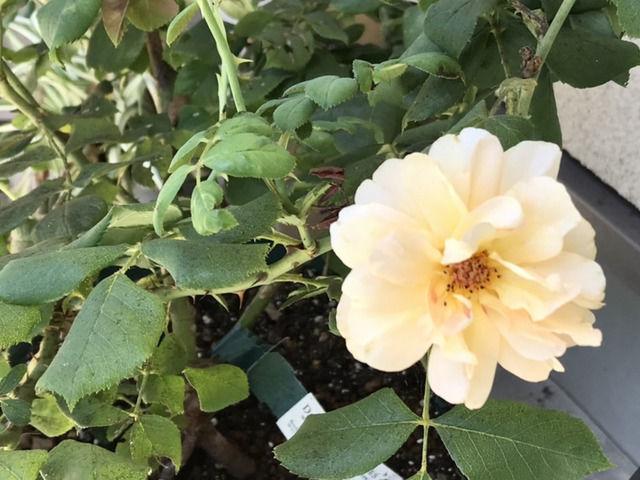 ロアルドダールの夏花