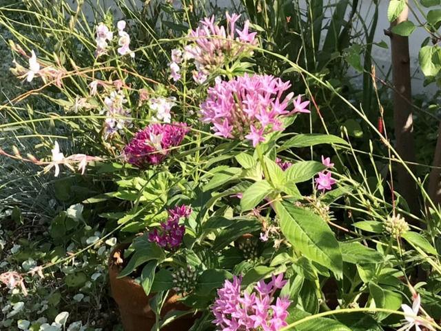 アンゲロニアとペンタスの花