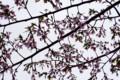 咲き始めのサクラ
