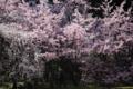 『京都新聞写真コンテスト 桜トンネル』