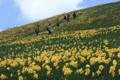 『京都新聞写真コンテスト スイセンの丘』