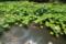 『京都新聞写真コンテスト 夏の蓮池』