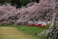 『京都新聞写真コンテスト 醍醐の花見』