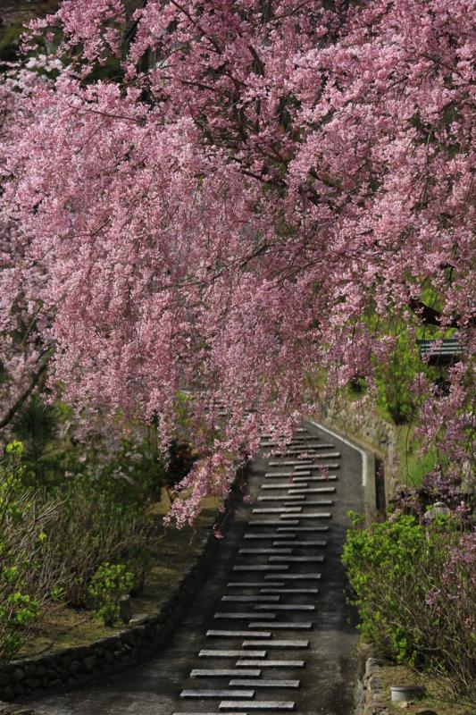 『京都西山 善峯寺』 桜