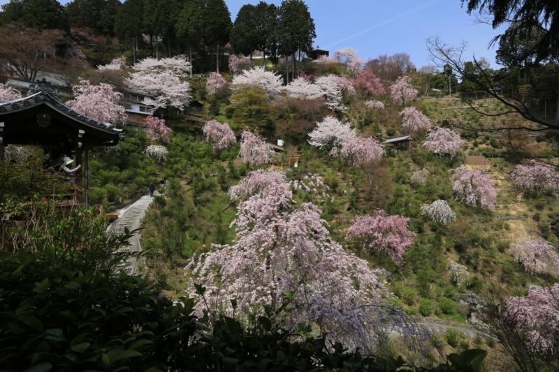 『京『京都西山 善峯寺』 桜