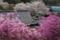 『京都新聞写真コンテスト 桜とミツバツツジ』