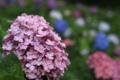 『京都新聞写真コンテスト カラフル紫陽花園』