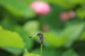 『京都新聞写真コンテスト シオカラトンボ』