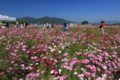 『京都新聞写真コンテスト 癒しのコスモス園』
