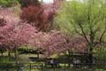 『京都新聞写真コンテスト 桜の木の下で』