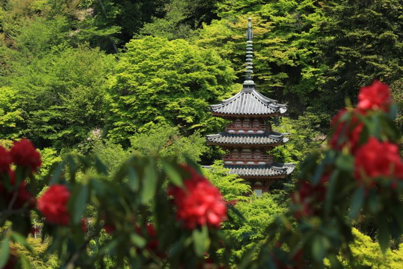 『京都新聞写真コンテスト シャクナゲの咲くころ』