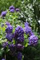 『京都西山 善峯寺』 紫陽花