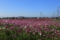 『滋賀県近江八幡市 コスモス畑』