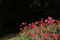 『宇治市植物公園 チューリップ』