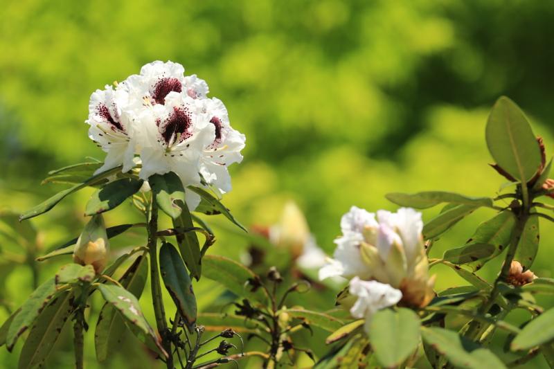 京都「三室戸寺」ツツジの咲くころ これはシャクナゲです