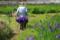 『城陽市 花の小路』カキツバタ