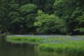 『滋賀県高島市 平池』 カキツバタ