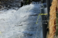 『滋賀県高島市 安曇川』 やな漁