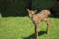 奈良公園 「特別公開 子鹿公開」 子鹿