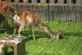 奈良公園 「特別公開 子鹿公開」 出産