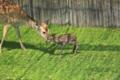 奈良公園 「特別公開 子鹿公開」 最初の一歩
