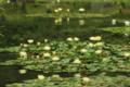 京都市「平安神宮」神苑 睡蓮