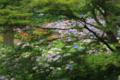 宇治市「三室戸寺」 紫陽花庭園