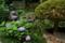 京都西山「柳谷観音」 紫陽花