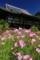 奈良県「般若寺」コスモス寺