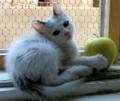 """[仔猫][猫][ふうちゃん][ふうらいらい][白猫]Fuchan 7 weeks old """"Apple""""  ふうちゃん7週 アップル"""